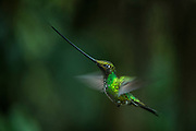 Sword-billed hummingbird (Ensifera ensifera)<br /> Yanacocha Nature Reserve<br /> on slopes of Pichincha Volcano<br /> Andes<br /> ECUADOR, South America<br /> Range: mostly above 2500 meters in Bolivia, Colombia, Ecuador, Peru and Venezuela.