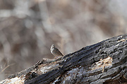 Photograph of Cassin's Sparrow from San Pedro Riparian National Conservation Area, AZ