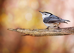 Mr. Nuthatch is on point today, and soaking up some of the unseasonably warm weather we are having