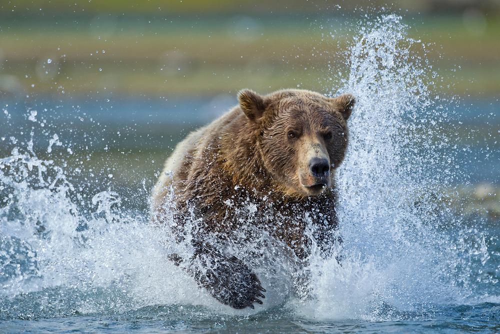 USA, Alaska, Katmai National Park, Grizzly Bear (Ursus arctos) runs while chasing spawning salmon in stream along Geographic Harbor