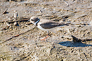 A semipalmated plover in a marsh in Eastham.