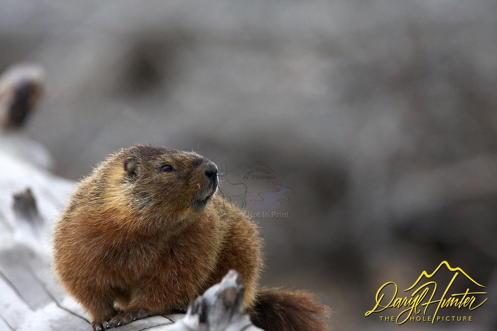 Yellows Bellied Marmot, Yellowstone National Park