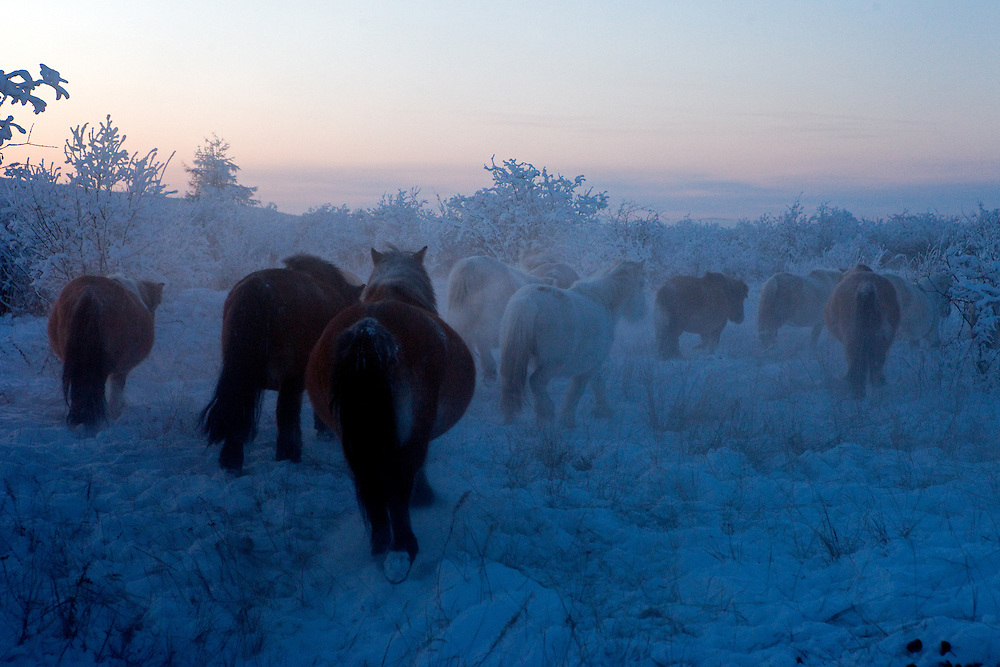 The Pole of Cold - Yakutian horses at a horse breeders farm close to the village of Tomtor. Yakut pony or simply the Yakut, is a rare native horse breed from the Siberian Sakha Republic (or Yakutia) region. It is noted for its adaptation to the extreme cold climate of Yakutia, including the ability to locate and graze on vegetation that is under deep snow cover. The area is extremely cold during the winter. Two towns by the highway, Tomtor and Oymyakon, both claim the coldest inhabited place on earth (often referred to as -71.2°C, but might be -67.7°C) outside of Antarctica. The average temperature in Oymyakon in January is -42°C (daily maximum) and -50°C (daily minimum). The images had been made during an outside temperature in between -50°C up to -55°C. Tomtor, Jakutien, Yakutia, Russian Federation, Russia, RUS, 19.01.2010
