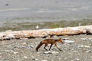 A red fox adult heads out to hunt on the beach at the McNeil River State Game Sanctuary on the Kenai Peninsula, Alaska. The remote site is accessed only with a special permit and is the world's largest seasonal population of brown bears in their natural environment.