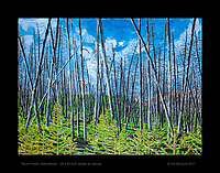 """""""Burnt Forest, Yellowstone 02"""" - 30 x 40 inch, acrylic on canvas.  © Tim McGuire 2017"""