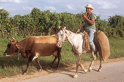 Man riding on horseback herding cow along road in Cuban countryside,