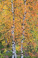 Fall colours in the mountain birch, Betula pubescens var. tortuosa, Abisko National Park, Norrbotten, Lapland, Sweden
