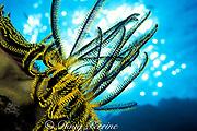 noble feather star or crinoid, Comanthina nobilis, Surin Islands, Thailand ( Andaman Sea, Indian Ocean )
