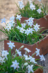 Ipheion 'Alberto Castillo' AGM - Starflower - in terracotta pots