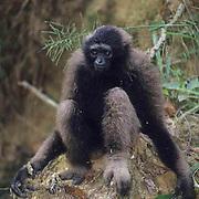 Bornean Gibbon, (Hylobates muellri) Portrait of gibbon in rain forest. Malaysia.    Captive Animal.