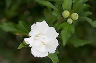 A white hbiscus flower on the Orkos Estate, Paxos, Greece, Europe