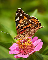 Painted Lady Butterfly on a Zinnia Flower. Image taken with a Nikon 1 V3 camera and 70-300 mm lens