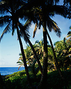 Coconut palms, Cocos nucifera, on the Puna Coast, Big Island of Hawaii.