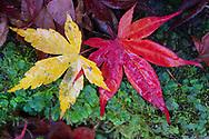 Autumn leaves, Japanese maple, Acer palmatum, Lu Shan, Taiwan