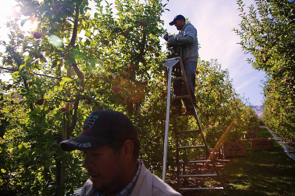Picking apples at harvest...Phillippi Fruit Company..For Graceland Project 2008.