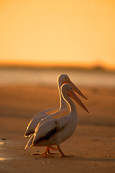 Stock photo of White pelicans (Pelecanus onocrotalus) walking on the beach at sunset