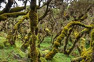 Landschaftsimpressionen aus der Erika-Stufe im Harenna Wald im Süden des Bale Mountains Nationalparks im Süden von Äthiopien