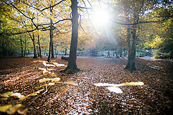 © Licensed to London News Pictures. 22/10/2020. Burnham, UK. A woman walks through autumnal colours at Burnham Beeches national park and National Nature Reserve in Buckinghamshire, south East England. Photo credit: Ben Cawthra/LNP