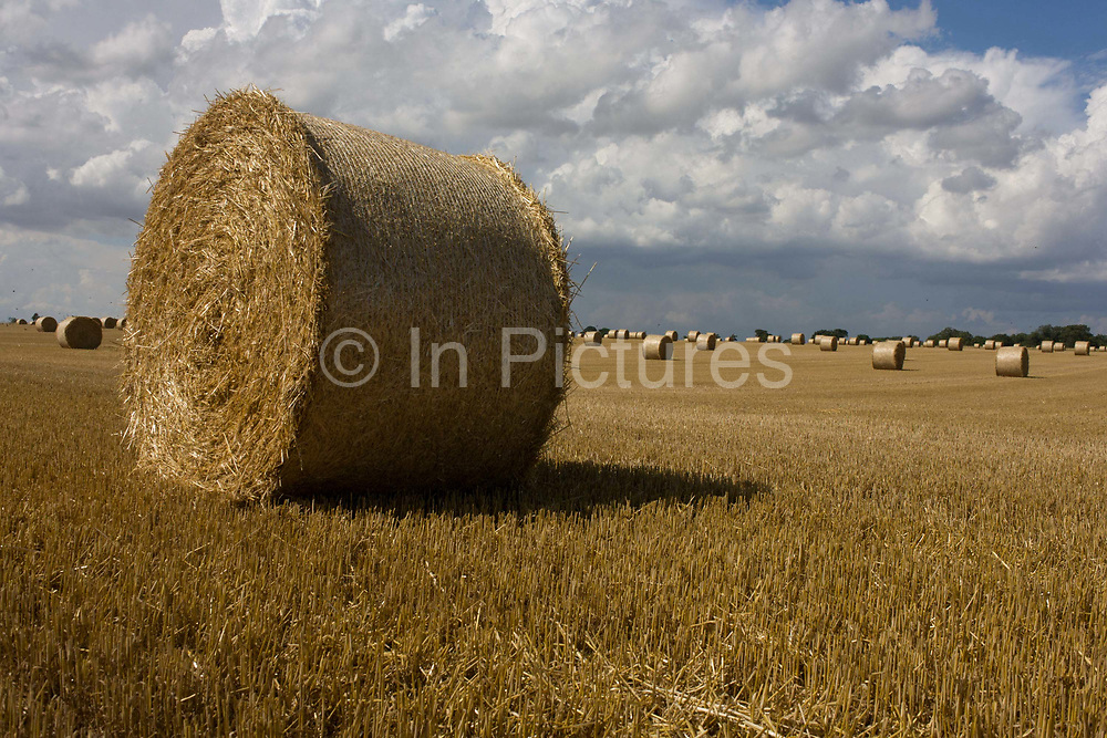 Large round bales of hay drying in summer sun after the harvest near Reedham, a small village on the Norfolk Broads. Round bales are harder to handle than square bales but compress the hay more tightly. These round bale is partially covered with net wrap, which is an alternative to twine. Round bales, which typically weigh 300 to 400 kilograms (660–880 lb), are more moisture-resistant, and pack the hay more densely (especially at the center). Round bales are quickly fed with the use of mechanized equipment.