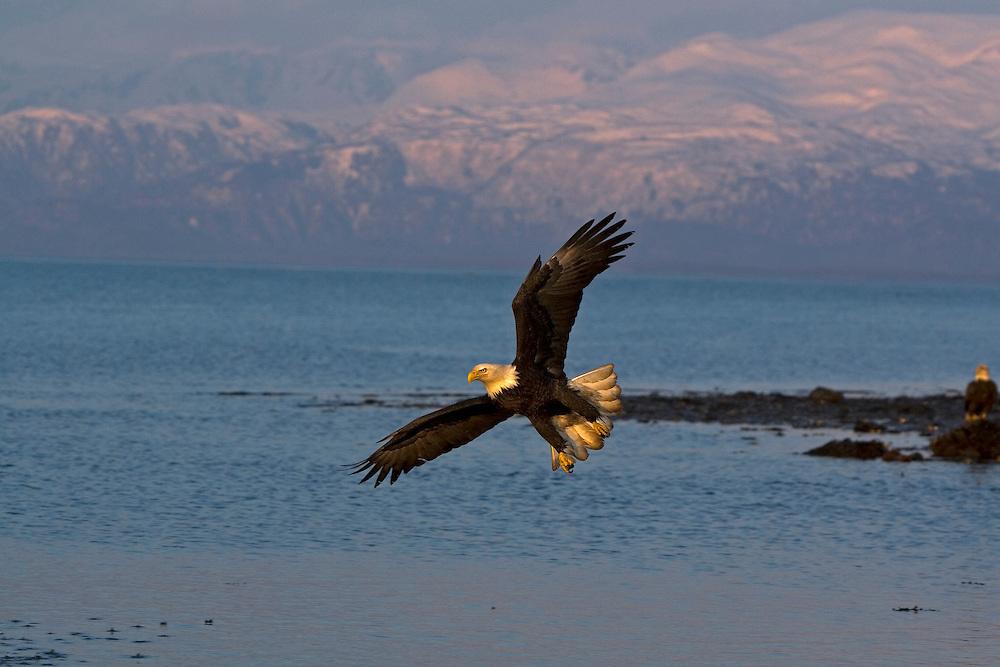 Bald Eagle, Haliaeetus leucocephalus, flying against mountain range, Kenai Peninsula, Homer Spit, Homer, Alaska. Digital original #2006_1444 ©Robin Brandt