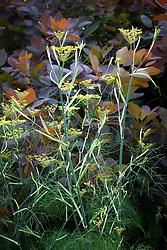 Foeniculum vulgare in front of Cotinus coggygria Purpureus Group. Common fennel
