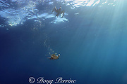 short-tailed shearwaters or mutton birds, Puffinus tenuirostris, diving underwater, Victoria, Australia