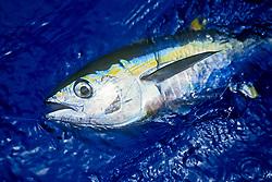 yellowfin tuna or ahi in Hawaiian, Thunnus albacares, juvenile, shibi or shibiko in Hawaiian, offshore, Kona Coast, Big Island, Hawaii, USA, Pacific Ocean
