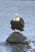 Bald Eagle, Haliaeetus leucocephalus, perched on rock on beach, Kenai Peninsula, Homer Spit, Homer, Alaska. Digital original, #2006_0334 ©Robin Brandt