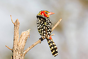Red-and-yellow Barbet, Samburu, Kenya