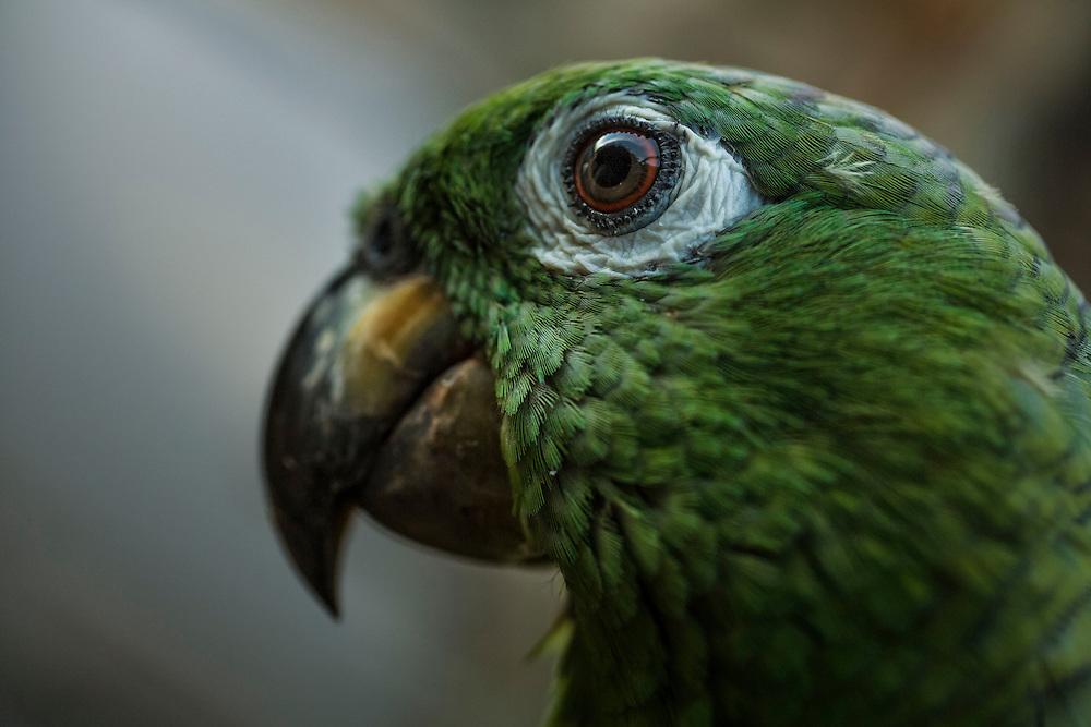 Colombie, Amazonas. Perroquet de compagnie.