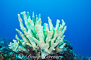 antler coral, Pocillopora eydouxi, bleached white by warm seawater during El Nino event of summer 2015; the lime green fluorescent pigments are believed to be produced by bleaching corals as a sort of sunscreen, in a last-ditch effort to survive; Hoover's Reef, Makako Bay, Keahole, Kona, Hawaii ( Big Island ), Hawaiian Islands ( Central Pacific Ocean )