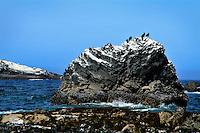 "Pelagic Cormorant seabirds on ""frosted"" rocks on the Oregon Coast"