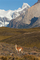 A single guanaco surveys the Patagonian country side in Torres del Paine, Chile