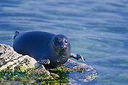 Nerpa, world's only freshwater seal, found only in Lake Baikal. Population may be declining, possibly a threatened species because of poaching. Zabaikalski  National Park, Lake Baikal. Lake Baikal is the oldest (25 million years), deepest (5700 feet) and largest lake in the world by volume(it holds 20% of the earth's liquid fresh water). Threatened by pollution and most recently by an oil pipeline, Baikal has become a rallying point for Russian and international conservationists. Baikal was declared a World Heritage Site in 1996. Boyd Norton, the photographer here, worked with Russian and U.S. environmentalists to get Baikal designated a World Heritage Site.