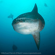 Ocean Sunfish, Mola Mola, can be found in the Galapagos, specifically Punta Vicente Roca, and are one of the largest fish in the sea, reaching more than 2,000 lbs and hosting as many as forty varieties of parasites, food for a number of reef fish that clean the giants when they rise from frigid depths.