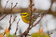 A female Townsend's warbler (Dendroica townsendi) is perched on a bare winter tree in Snohomish County, Washington. The small songbird is typically found in coniferous forests on the northwestern coast of North America. It usually forages in the higher branches, feeding on insects, spiders and seeds.