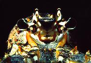 Caribbean Spiny Lobster, (Panulirus argus) Florida Keys