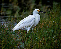 Snowy Egret. Merritt Island National Wildlife Refuge. Image taken with a Nikon D4 camera and 500 mm f/4 VR telephoto lens (ISO 500, 500 mm, f/4, 1/500 sec)