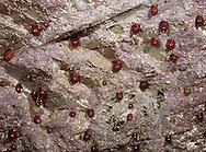 Beadlet Anemone - Actinia equina