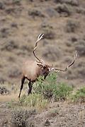 American elk or wapiti bull during the fall rut