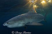 tiger shark, Galeocerdo cuvier, at dusk, Aliwal Shoals, east coast of South Africa (near Durban )