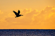 A brown pelican (Pelecanus occidentalis) is rendered in silhouette as it flies over Puerto Real off the coast of Esperanza on the island of Vieques, Puerto Rico, just before sunrise. The brown pelican feeds mainly on fish and is one of only two types of pelicans that feed by diving head-first into the water.