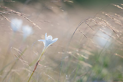Rain lilies in grasses, Texas Hill Country (between Blanco and Fredericksburg), Texas, USA.