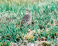 Western Meadowlark (Sturnella neglecta). Alamosa National Wildlife Refuge, Colorado. Image taken with a Nikon D700 camera and 80-400 mm VR lens.