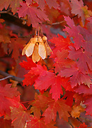 Bigtooth Maple Leaves and Seeds, Zion National Park, Utah