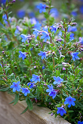 Lithodora diffusa 'Heavenly Blue' AGM<br /> Purple gromwell.