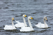 Whooper Swan male cob, female pen, with cygnets, Cygnus cygnus, at Welney Wetland Centre, Norfolk, UK