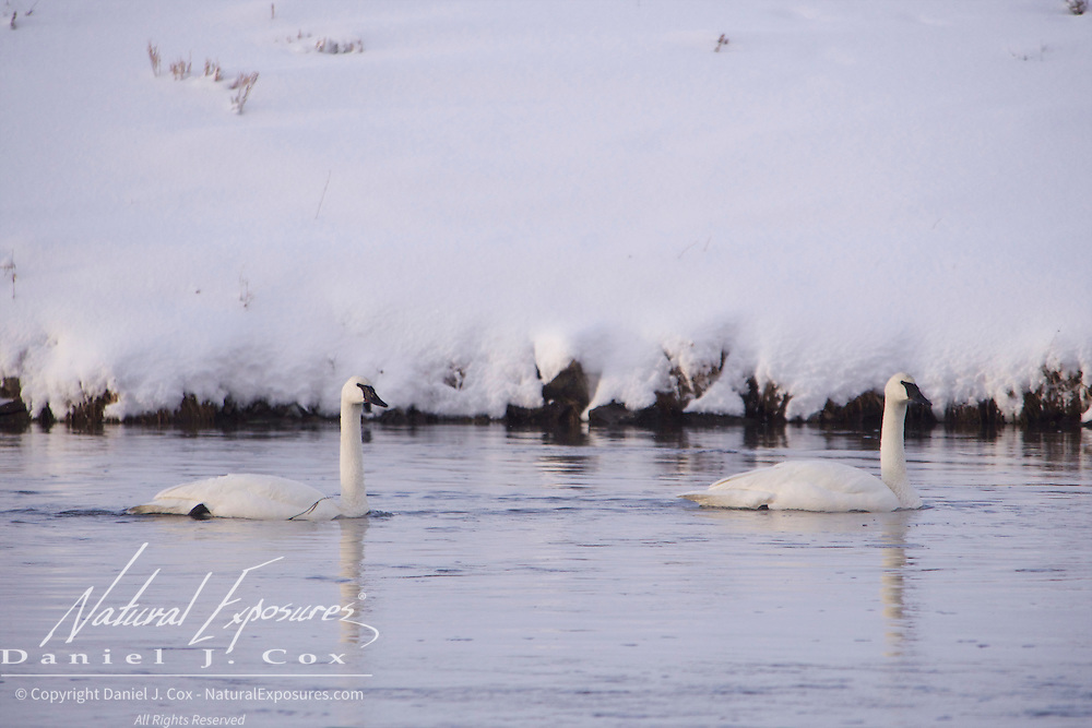 Trumpeter Swans, Madison River, Yellowstone National Park, Wyoming