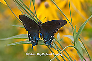 03004-012.11 Pipevine Swallowtail Butterfly (Battus philenor) male in flower garden,  Marion Co., IL<br /> butterfly, butter fly, insect, insecta, lepidoptera, wings, butterfly wings, butterfly photographer,  Illinois butterfly, swallow tail, papilionidae, pipevine swallowtail, battus philenor, backyard wildlife, butterfly life cycle, male pipevine swallowtail in butterfly garden in marion county illinois, horizontal, butterfly flower, 03004-01211,