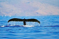humpback whale, Megaptera novaeangliae, fluke-up dive, Hawaii, USA, Pacific Ocean